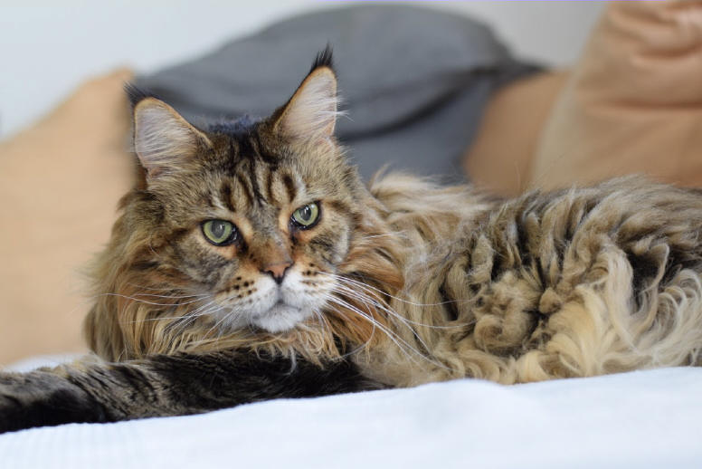 Maine Coon the Fabulous