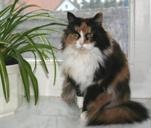 Lollipop the Fabulous, Maine Coon, tortie/white
