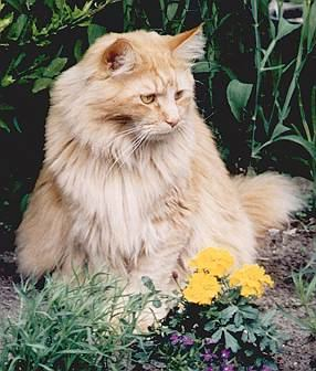 King Edward the Fabulous, Maine Coon
